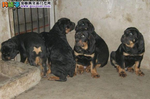 3个月的罗威纳幼犬哪里有卖的