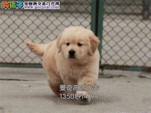 安徽犬舍金毛纯种猎犬保健康全国发货