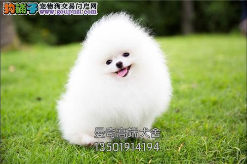 广西本地出售博美袖珍幼犬全国发货