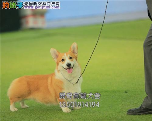 广东家养柯基可爱犬公母均有全国发货