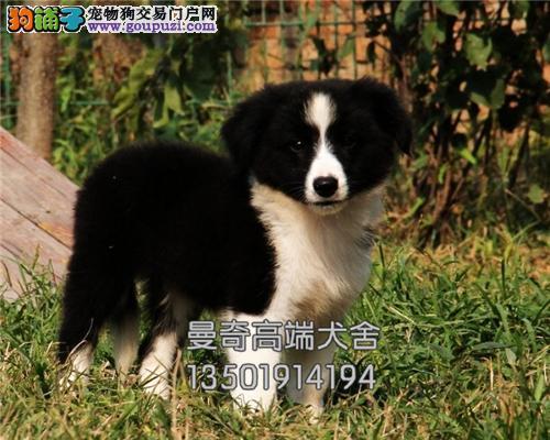 广东便宜出售边牧帅气犬公母均有全国发货