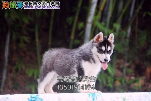 广东最大犬舍哈士奇出售驱虫已做全国发货