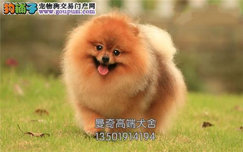 西藏犬舍博美出售小包纯种全国发货