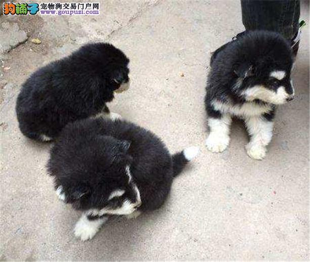 河北的阿拉斯加幼犬找新主人