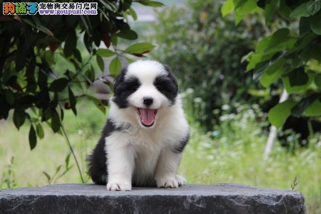 边境牧羊犬 漂亮的边境宝宝找新家哟,智商第一