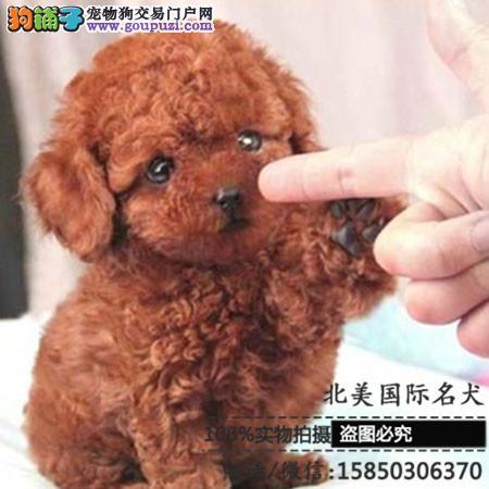 高品质泰迪犬基地直销 保纯种健康 欢迎实地挑选