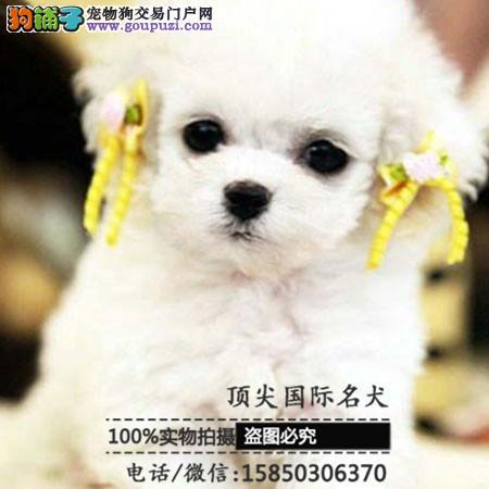 出售高品质泰迪犬带血统 终身质保 签订协议可送货