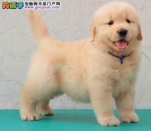 广州金毛犬出售 金毛天河哪里有卖 金毛多少钱一只