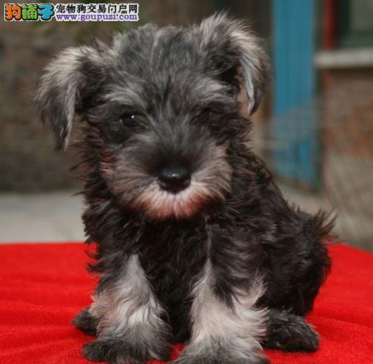 纯种雪纳瑞幼犬出售 黑白椒盐色 疫苗驱虫均齐