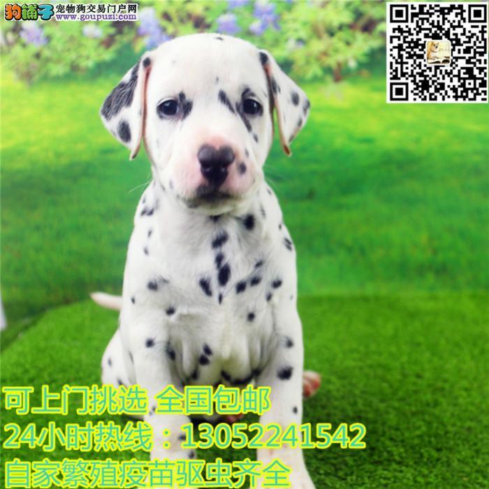 CKU认证狗场出售2 4月龄斑点狗 专业繁殖 品质保障