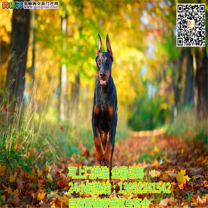出售纯种德系、美系杜宾 专业繁殖犬舍包 健康品质保证