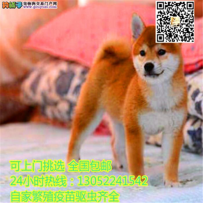 精品日系柴犬幼犬 三针齐西巴犬幼犬多只待选