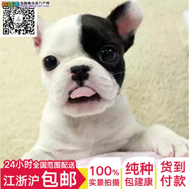 自家繁殖国外引进纯种法国斗牛犬幼犬