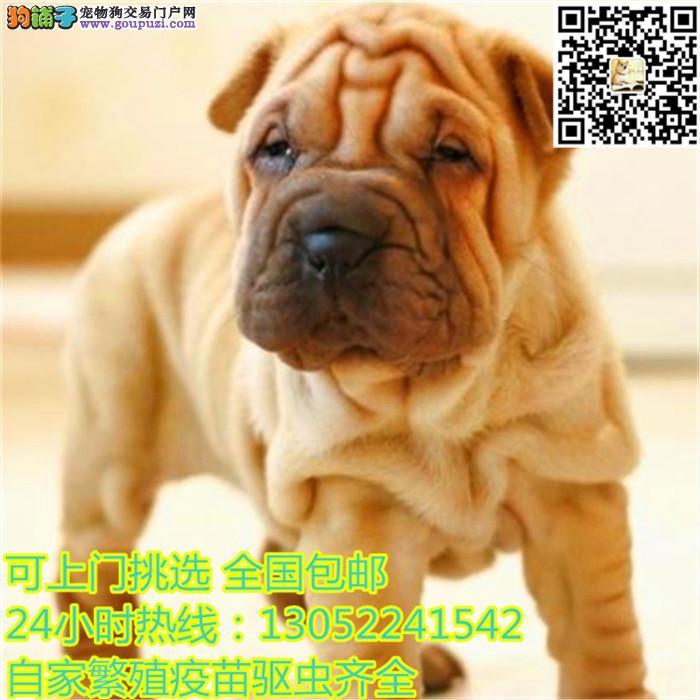纯种 沙皮 沙皮犬 多只可选 正规犬舍出售 签订协议