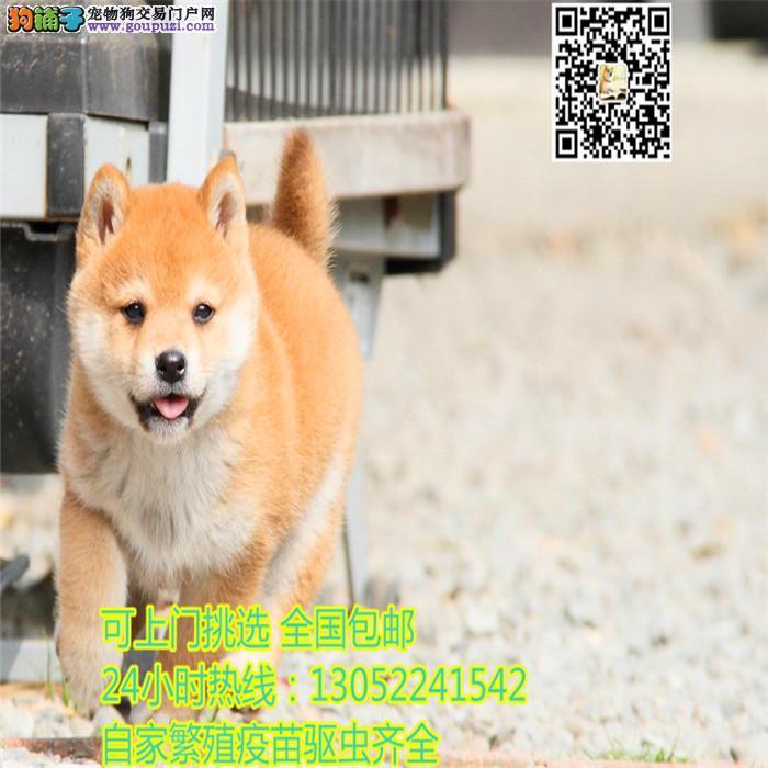 柴犬犬舍出售顶级日系纯种柴犬幼犬 保证纯种健康