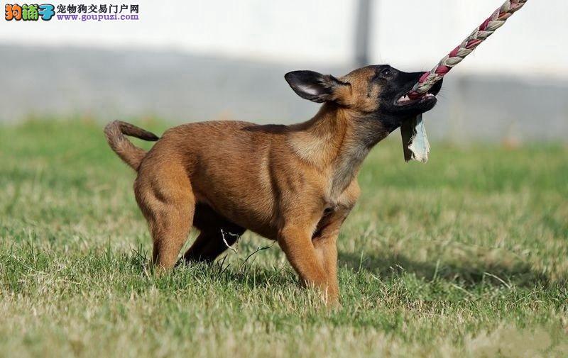 cku认证犬舍出售极品马犬签协议保健康