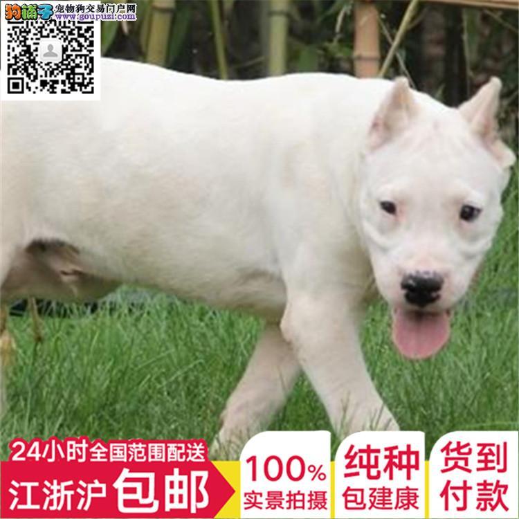杜宾犬舍德系杜宾幼犬 大骨量黑色和红色公母均有