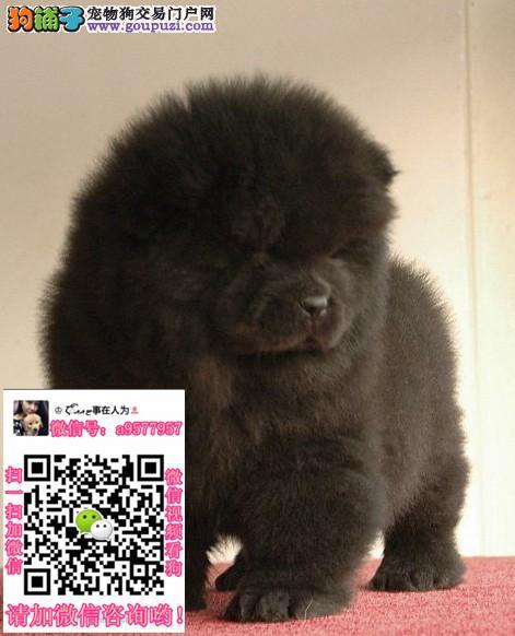 昆明本地出售松狮、柴犬、秋田、萨摩耶、哈士奇可自提