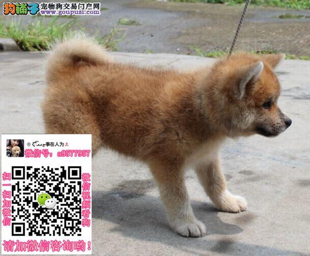 秋田犬缩略图