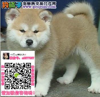 昆明本地出售柴犬、秋田、松狮、萨摩耶、哈士奇可自提