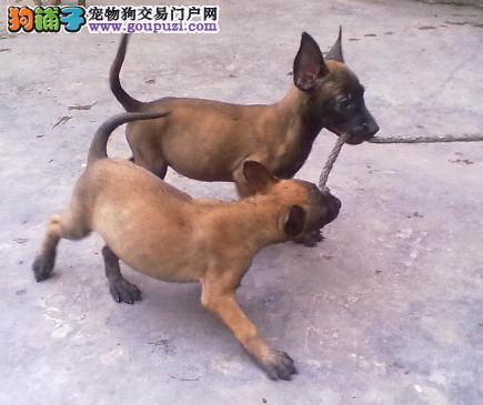 纯种马犬直销点 忠实聪明马犬幼崽