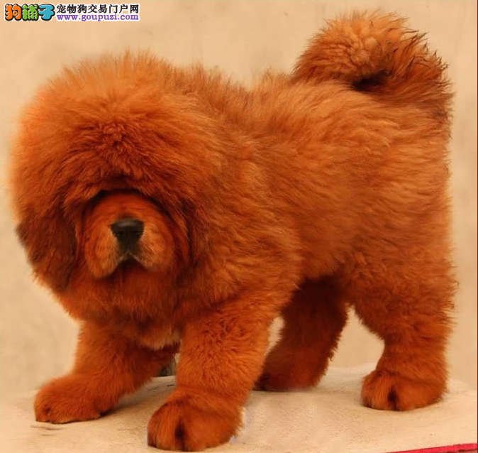 品质第一极品藏獒多少钱&嘉定区藏獒幼犬