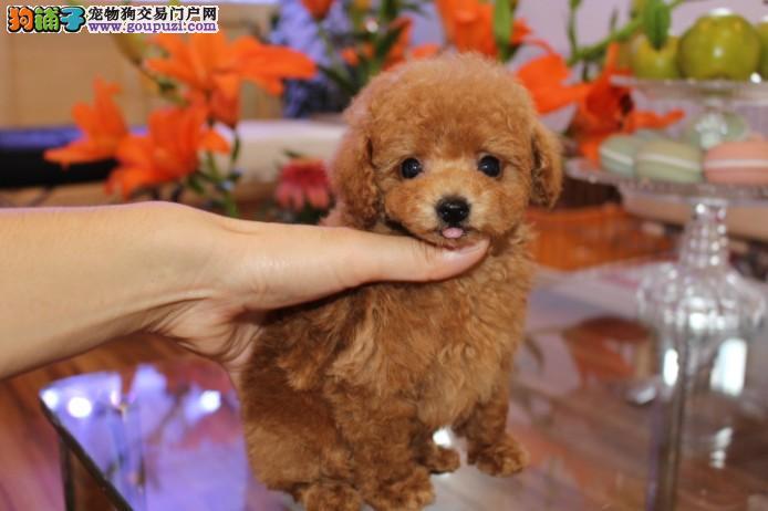 纯种健康精品茶杯犬幼犬 嘉定区茶杯犬哪里