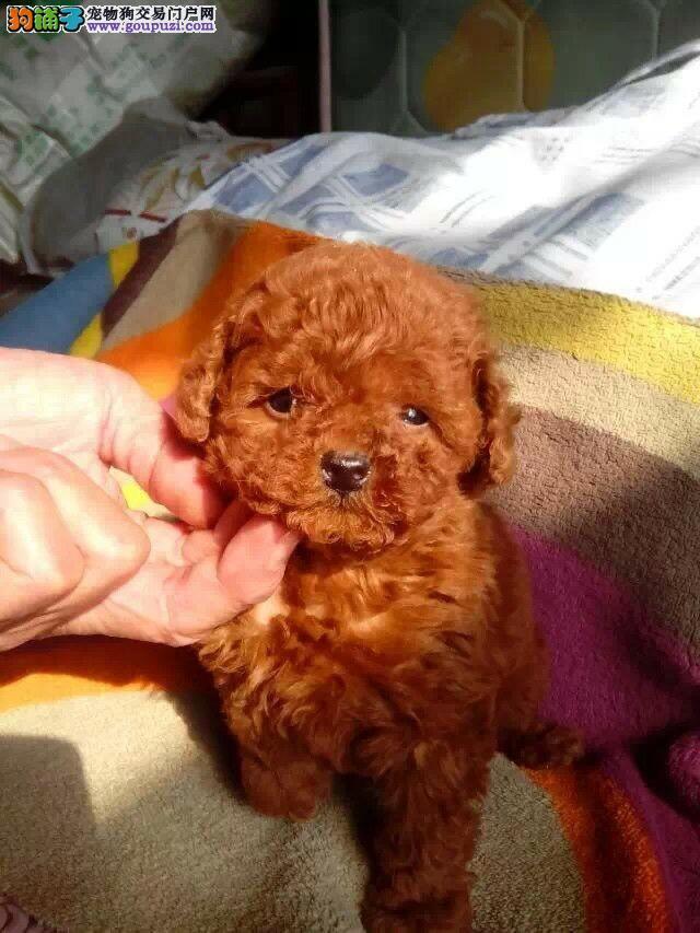 口碑最好茶杯犬两三个月的小狗 松江区纯种