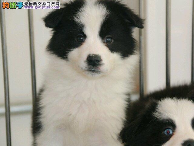 信誉第一 品质第一 精品边牧幼犬