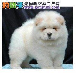 信誉第一 品质第一 精品松狮幼犬