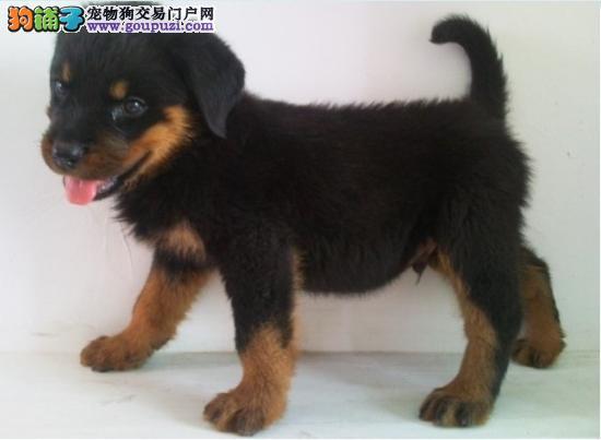 出售自家繁殖的纯种 罗威纳狗狗 有多只可以选择