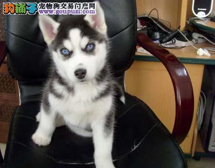 出售高品质净脸哈士奇犬一一三把火双蓝眼哈士奇幼