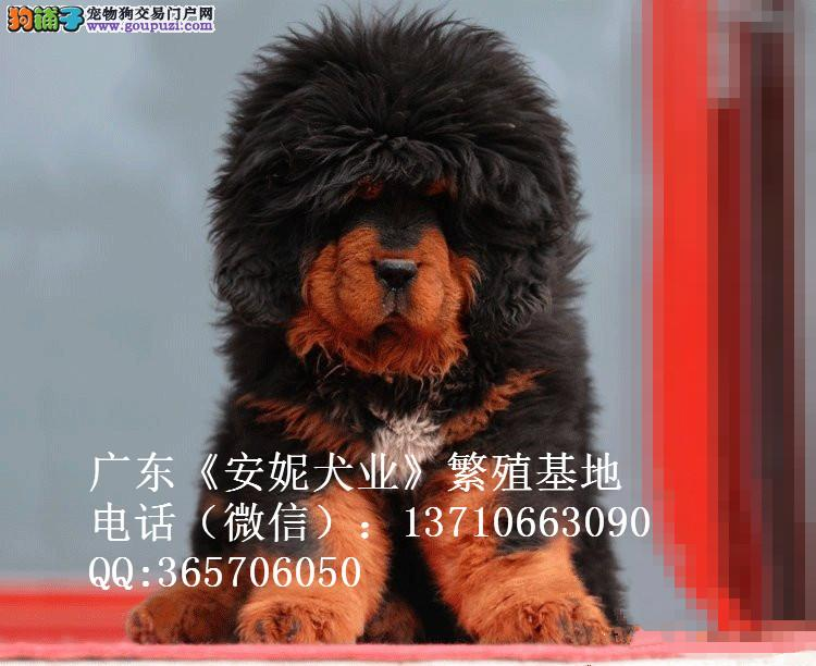 出售赛级精品纯种藏獒广州藏獒大概价格多少钱