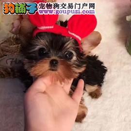 纯种金头银背约克夏幼犬超小体