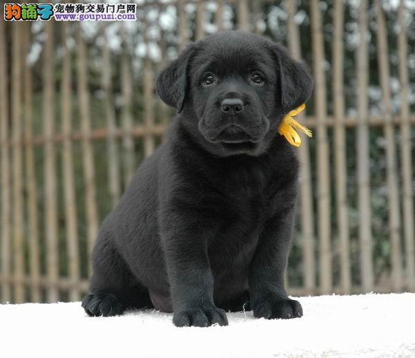 拉布拉多幼犬出售大头宽嘴