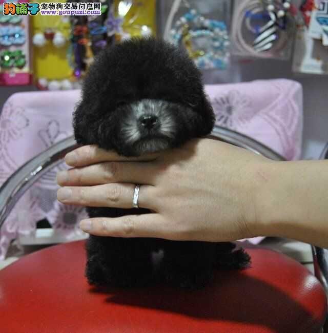 纯种茶杯体 玩具体泰迪熊幼犬