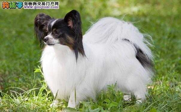 蝴蝶犬有几种分类 蝴蝶犬的种类
