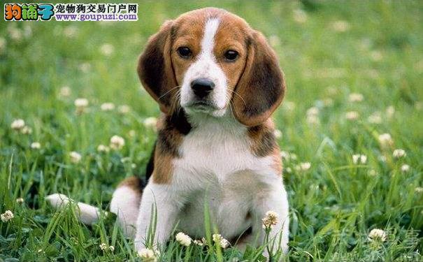 饲养比格犬前需了解 米格鲁猎兔犬是个热闹大王