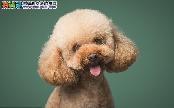 挑选纯种泰迪犬的方法