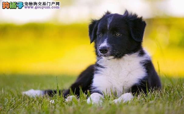 智商第一的边境牧羊犬的性格 饲养边牧需知
