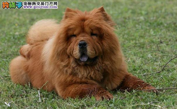 松狮犬能长多大 影响松狮犬大小的因素