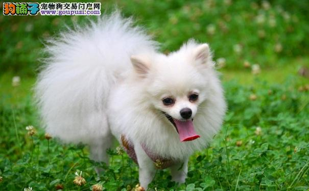 怎样区分博美犬、银狐犬和萨摩耶犬