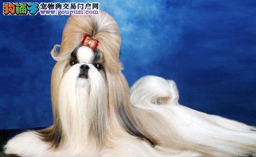西施犬掉毛吗 西施犬适不适合家养