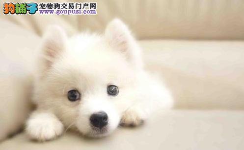 日本银狐犬好养活吗