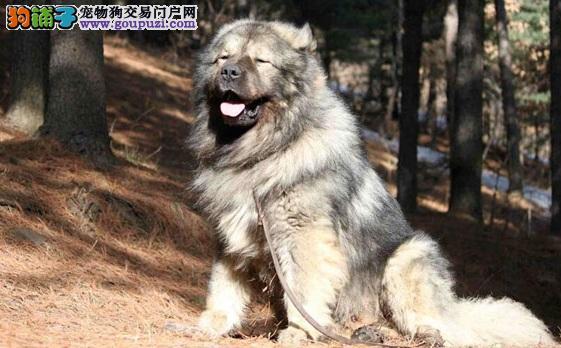 巨型犬高加索犬的特点