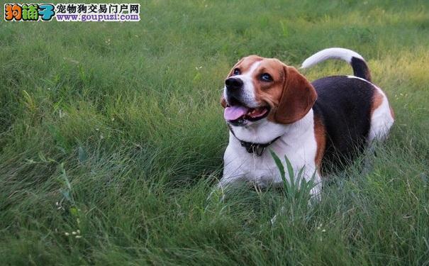 米格鲁比格犬的鉴别与性格特点