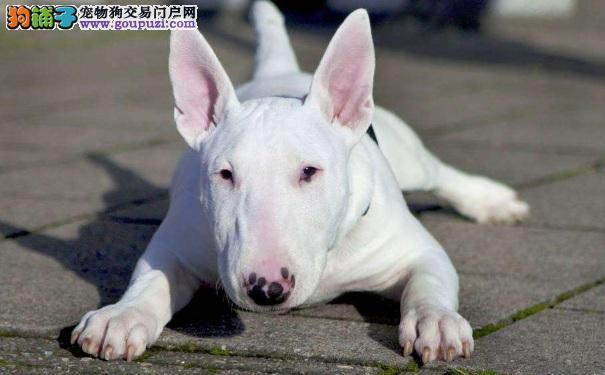 牛头梗幼犬价格 买牛头梗犬需要多少钱