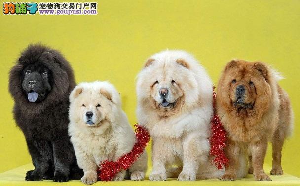 松狮犬有几种颜色 什么色的松狮犬最好
