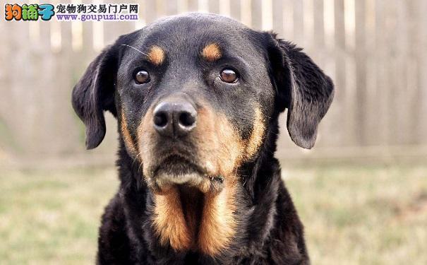 购买罗威纳犬前应该了解其性格和外形特点