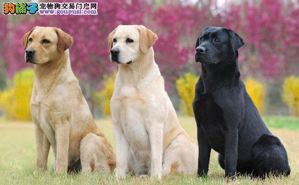 找到适合自己的犬种以及挑选健康狗狗的方法